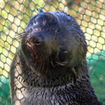 "Lila Ranch is a Marine Mammal Center Adopt A Seal ""Poster Seal"""